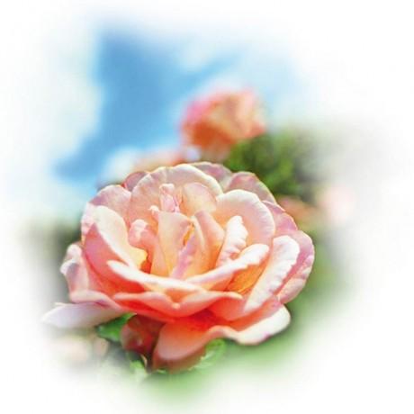 Арома есенция роза за овлажнители и ароматизатори